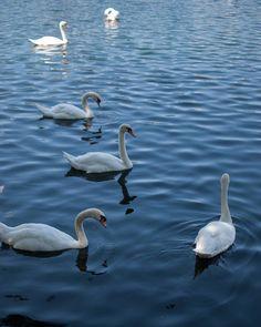 One more from my morning walk around #lakeeolapark #downtown #orlando #florida #streetphotography #art #nature #water #Swans #birds #citylife #cityliving #thecitybeautiful #lake