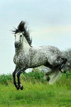 Leaping horse, half bucking, star dappled grey horse.