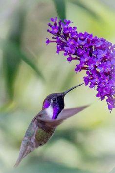 I received Hummingbird and Raven the same night. ~~ Purple Costa's Hummingbird Feeding by JoeyD on Pretty Birds, Love Birds, Beautiful Birds, Animals Beautiful, Cute Animals, Exotic Birds, Colorful Birds, Tier Fotos, Little Birds