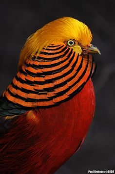 Chinese Golden Pheasant is where all the beautiful crests for salmon flies come from.