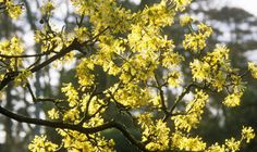 Cornus mas, cornelian cherry.Member of the dogwood family, it can become a large shrub reaching 10' but can be pruned in to check. The cornus type leaves turn red in autumn and in late winter it bares a mass of  cherry yellow flowers, followed by small red fruit for the birds.  When ripe, the fruit is dark ruby red or a bright yellow and have anacidicflavour, mainly used for makingjam, and a sauce similar to cranberry.