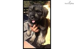 I am a cute Giant Schnauzer puppy for sale near Bend, Oregon. I do not shed. | 1c1a4fea-f9b1