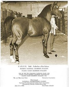 "the Fabulous Fadjur"", a stallion known for both his presence and his kindness."