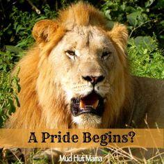 A Lion Pride Begins - Mud Hut Mama