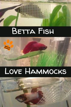 Your definitive guide to Betta fish toys. Which ones you need, why you need them and where to get them without breaking the bank. Betta Fish Toys, Betta Aquarium, Pet Fish, Diy Betta Toys, Colorful Fish, Tropical Fish, Beta Fish Care, Fisher, Cool Fish Tanks