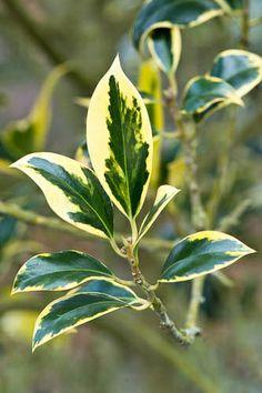 Ilex aquifolium 'Pyramidalis Aureomarginata'