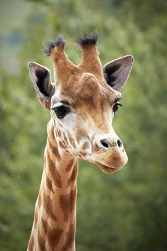 Head and Shoulders above the Rest - Giraffe Giraffe Images, Giraffe Pictures, Animal Pictures, Giraffe Head, Giraffe Art, Nature Animals, Baby Animals, Cute Animals, Animal Heads