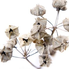 seed pods like paper bags (mary jo hoffman)