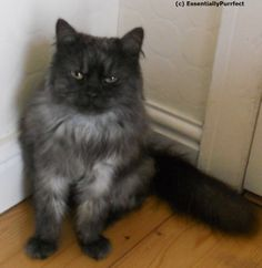 Vera.  A #Siberian #cat customer in #Manchester following her #mobile #catgrooming session.  Lovely lady !