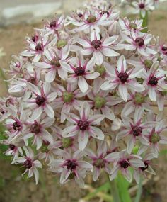 "Allium 'Silver Spring' - This variety has the remarkable fragrance of a sugary licorice candy. Blooms early June. Height 24"". Zones 4-8"