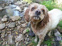 Daffney, the water loving Cavachon