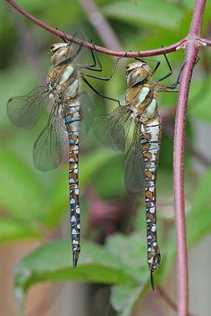 ♥dragonflies