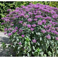 Blue Stocking Bee Balm...in my garden patch this year.