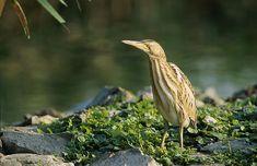 List of birds of India - Wikipedia List Of Birds, Bird Watching, Animals, Birds, Animal Science, Midget Man, Animales, Animaux, Animais