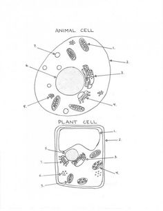 Plant And Animal Cell Diagram Worksheet
