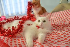 Crazy Valentine's Day Cats, Turkish Angora, Mainecoon,