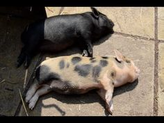 And because I'm feeling generous, here's a video of 2 micropigs chilling on a patio: | Micro Pig Taking A Bath In A Bidet