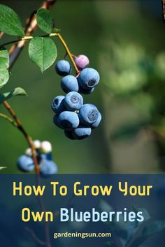 How To Grow Your Own Blueberries - Gardening Sun