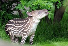 A baby tapir enjoys leaves during its first outing at Tierpark Hagenbeck zoo in Hamburg, northern Germany.