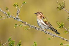 Horsfield's Bronze-Cuckoo (Chalcites basalis) | Flickr - Photo Sharing!