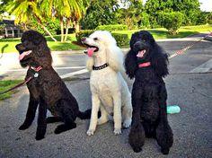 Tres Amigos! Kobe, Maxuum and Roxy - Photo by Sharon Aron Baron