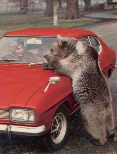 Some Bears are excelent motor mechanics and can diagnose engine defects just by listening to them.