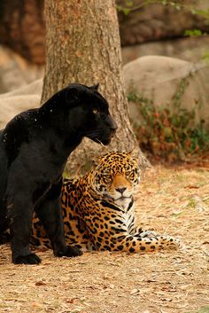 These are jaguars. Or a jaguar and a black panther. A black panther is the melanistic color variant of any big cat species. Black panthers in Asia and Africa are leopards (Panthera pardus), and those in the Americas are black jaguars (Panthera onca). Beautiful Cats, Animals Beautiful, Cute Animals, Wild Animals, Baby Animals, Mundo Animal, My Animal, Big Cats, Cats And Kittens