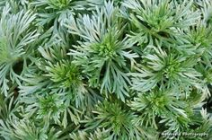 Closeup of Silver Mound Artemisia for a background Lavandula Angustifolia Munstead, Types Of Soil, Types Of Plants, Artemisia Annua, Planting Shrubs, Coastal Gardens, Buy Plants, Heuchera, Medicinal Plants
