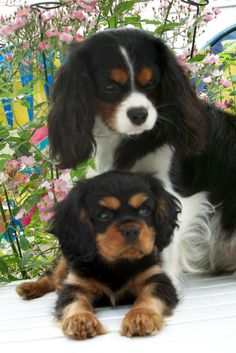 Pictures of Cavalier King Charles Spaniel Dog Breed