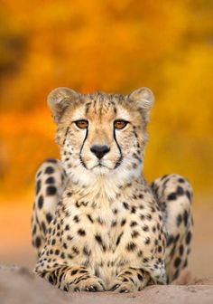 What's your favorite type of big cat? Cheetahs race straight to our hearts <3