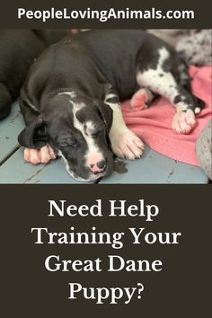 Doggy Dan's Perfect Puppy Program is the best way to train a Great Dane puppy. It's super effective and affordable and covers all puppy training issues. Puppy Training, Dog Training