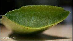 L'Aloe è una delle mie piante preferite...ne ho di tantissime specie e resistono da molti anni alla mia incuria (non innaffiarle troppo aumenta la loro efficacia comunque...) ed agli sbalzi di temperatura, in una serra fredda in inverno e all'esterno in estate. In questi giorni una molto grande ha deciso di accomiatarsi e ho dunque dovuto utilizzar...