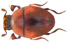 Family: Histeridae Size: 1.2-1.5 mm Origin: Europe Ecology: the humus and under bark of old deciduous trees Location: Germany, Thuringia, Hirschberg Hague leg A.Skale, 1995, det. L.Erbeling, 1997 Photo: U.Schmidt, 2009