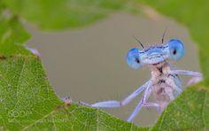 Blu demoiselle!!! by SouiriYoussef #nature #photooftheday #amazing #picoftheday