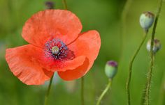 Essence of Summer Poppy Print For Sale