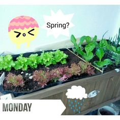 Where is the Spring? Dónde está la primavera?   #urbangarden #veggies #igersmadrid #urbangardenersrepublic #growyourown #gardening #greenthumb #seeds #raisedbed #sprout #huertourbano #huerto #horticulture #semilleros #brote #semilla #homegrown #gogreen #Madrid #soil maceta, hort urba, balcony garden, grow what you eat