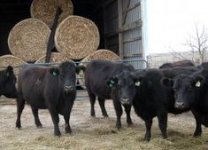 Winter care for cattle | Living the Country Life