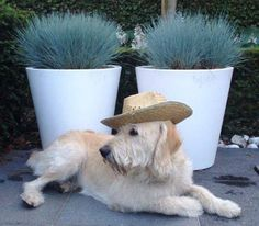 elho flower pots and a dog