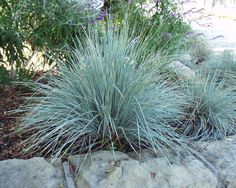 slope off the road! Blue Oat Grass  (helictotichon sempervirens)  2 ft tall and wide, typically evergreen, soft golden tone in the fall, looks good in masses and alone does best in full sun.