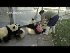 You try and clean up a panda enclosure with a bunch of pandas in there | MNN - Mother Nature Network