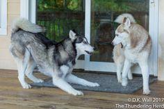 If it is Sunday, Sunday, Sunday, it must be Wrestlemania! #dogs #siberianhusky #husky