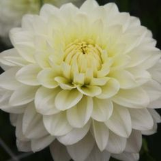 Wholesale Dahlias 10 Bunch Medium Box (100 Stems) - Blooms by the Box