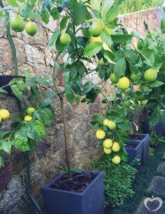 Tem coisa mais linda que um pé de limão siciliano no vaso do seu jardim? Plantei há um ano e meio e era uma mudinha bem simples que comprei na floricultura. E para a minha surpresa ele está cada vez…