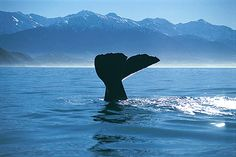 Kaikoura, New Zealand. Watching sperm whales play - awesome!