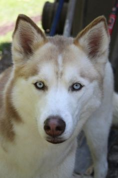 I love huskies. Such beautiful eyes