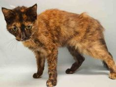 ♦ KILLED 11-6-2015. ♦ SUPER URGENT SENIOR LADY – SYBIL (A1056671) is pretty female cat, 9 years old | Due Out Date 11/05/2015 | OWNER SURRENDER stated was STRAY| Hit by car a week ago, has trouble walking. Injure MINOR. Relaxed during examine ♥ I'm tired of running, I'm sick with despair.  I have so much LOVE to give, that I should be given a NEW CHANCE TO LIVE. ♥ http://catarchives.urgentpodr.org/sybil-a1056671/