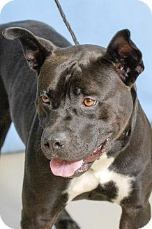 URGENT! High kill shelter!Pictures of alex a Pit Bull Terrier for adoption in Johnson City, TN who needs a loving home.
