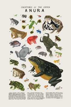 Creatures of the order Anura- vintage inspired science poster by Kelsey Oseid Kreaturen des Ordens Anura-Vintage inspiriert Wissenschaft 3d Art, Vintage Inspiriert, Animal Posters, Frog And Toad, Reptiles And Amphibians, Animal Drawings, Animals And Pets, Draw Animals, Minneapolis