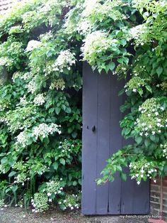 climbing hydrangea (could be covering the door to the secret garden! Back Gardens, Outdoor Gardens, Garden Cottage, Home And Garden, Climbing Hydrangea, My French Country Home, Country Living, White Gardens, My Secret Garden