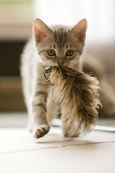 At first I thought this was TAIL IN MOUF but instead it is kitten who has captured a harmonizing feather!
